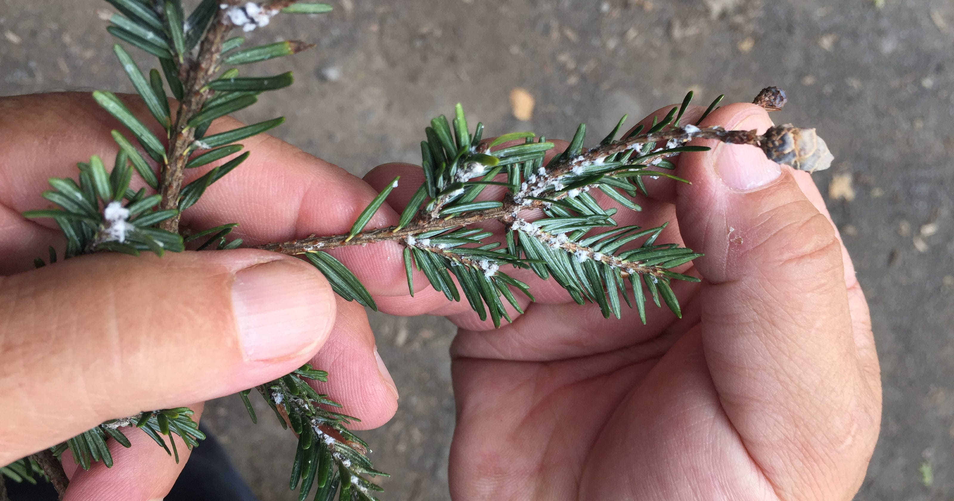 Western NY trees under attack from growing list of invasive