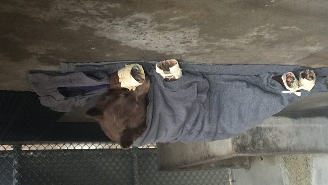 The first bear found with burned paws rests in her holding enclosure.
