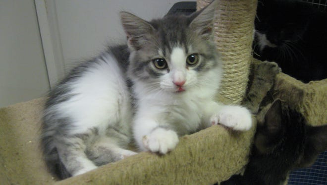 i'm oh-so-cute.. and the most playful kitten you'll ever meet. Come get me!