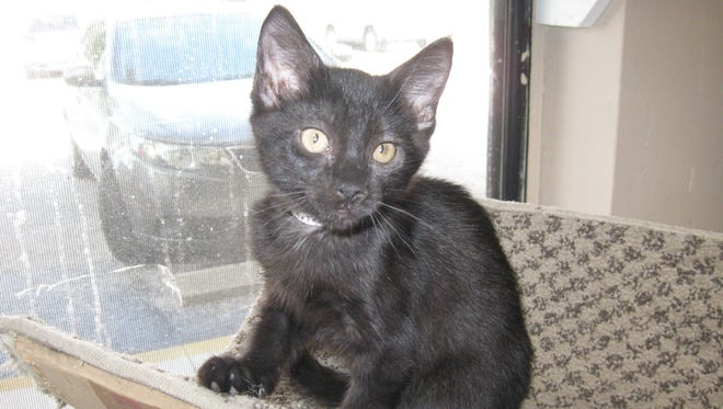 I'm a fuzzy, 12-week-old, all-black kitten, and as soon as someone picks me up, I start purring my heart out.
