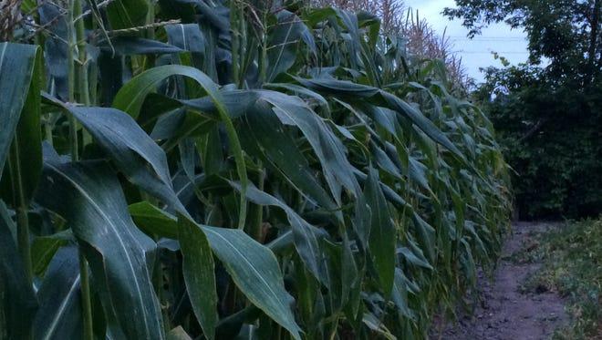 Sweet corn grows in rows.