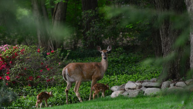A doe with her two fawns. During mating season, deer are less cautious, and that can lead to more collisions with vehicles.