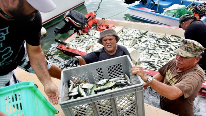 From left, John King, J.R. Howser and Ben Taitano unload atulai at the Hagatna boat basin on Monday, Oct. 2, 2017. Despite a net fishing ban in the boat basin, the fishermen, along with others, decided to net fish due to what they said were delays in agreement by agencies and politicians to allow for net fishing there, and the seasonal nature of atulai fishing.