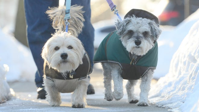 Tony Alfano, of Rochelle Park, walks with Henry, a terrier mix, and Annie, a schnauzer, past their home on Chestnut Ave in February 2015. Alfano bought them coats to keep them warm.