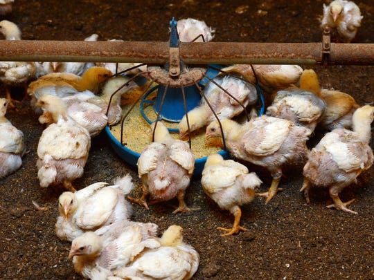Chickens eat grain inside chicken house near Princess Anne in this 2014 file photo.