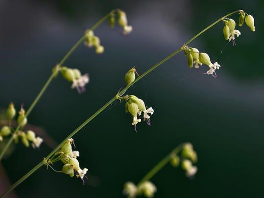 Almanac Flower