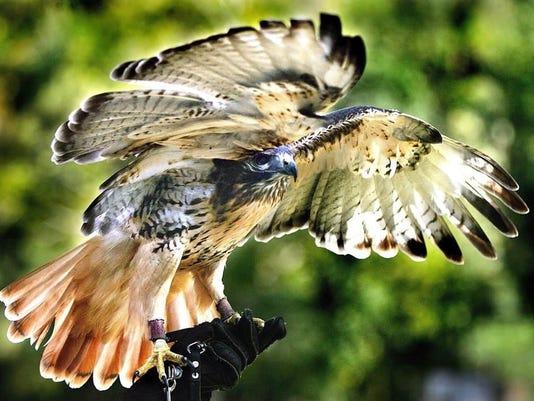 Hawk beck