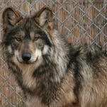 4/6: Dinner in Scottsdale benefits Mexican gray wolves