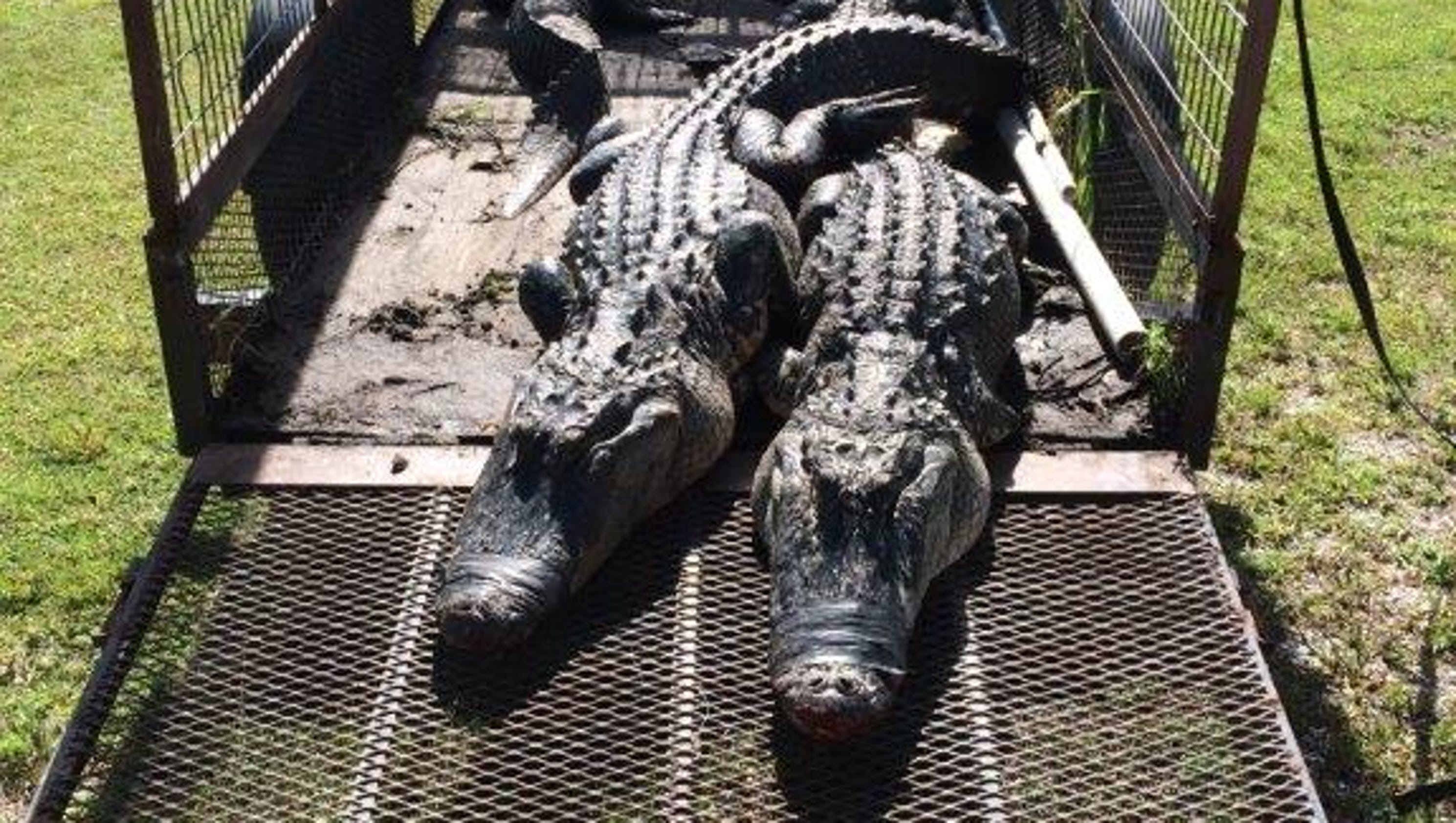 9 arrested in alligator racketeering ring