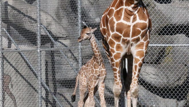 At 8:21 p.m. Saturday, 7-year-old Kivuli gave birth to a female reticulated giraffe after a 14-month gestation period.