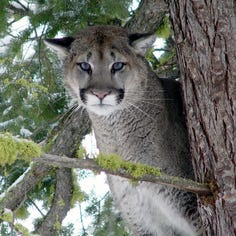 Hunter says cougars advanced on him near Mount Hood; kills one