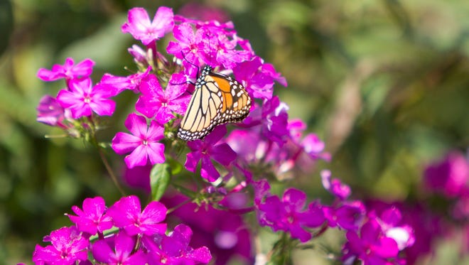 A monarch butterfly lands on phlox in Millie's Garden at Brighton District Library. The area adjoining the library has been designated an official monarch waystation.