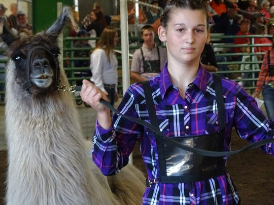Jenna Wyler shows a llama Wednesday during the Showman of Showmen event at the Coshocton County Fair. The winners of the showmanship classes at the junior fair competed for best overall by showing 10 species.
