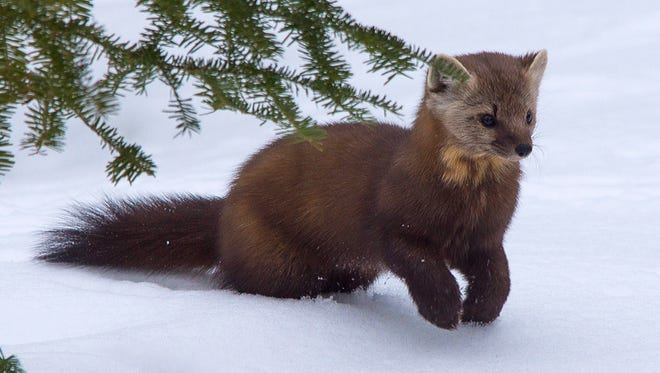 DNR communications policies are bogging down simple requests for information, such as trapping specifications that protect pine martens while targeting weasels or wolves.