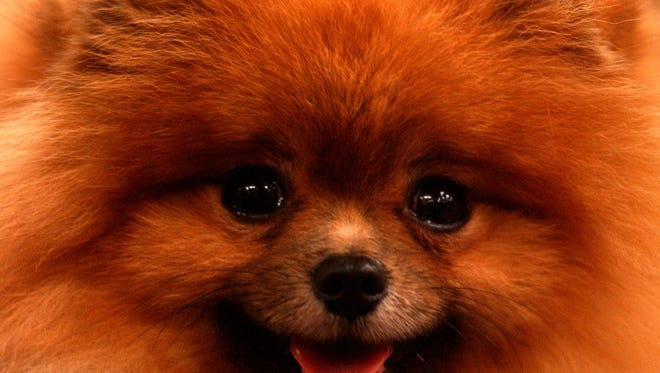 File photo: A Pomeranian is shown at the Westminster Dog Show in 2002.