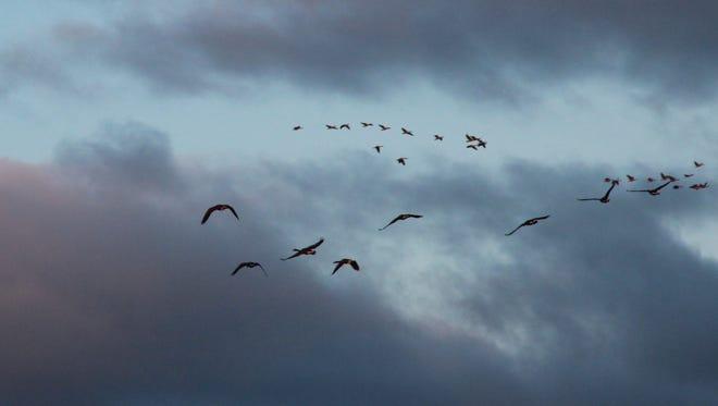 Canada geese fly over a farm field in Ozaukee County.