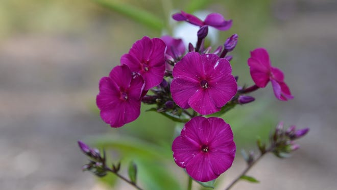 Seeds to plant indoors now include ageratum, alyssum, asters, nicotiana, petunias, and phlox.