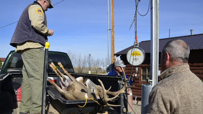 Great Falls hunter Rock Rayl, right, watches as Montana Fish, Wildlife and Parks biologist Brent Lonner prepares to weight the Mule deer buck Rayl brought in on Sunday. The buck weighed 180 pounds.