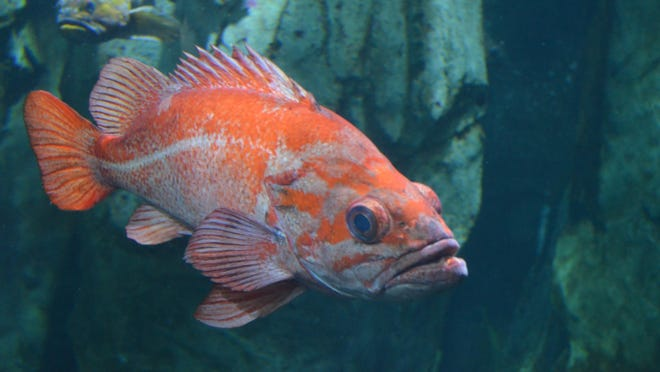 Delightful to watch or delicious to wok? For anglers at the Oregon Coast Aquarium, the answer is both.