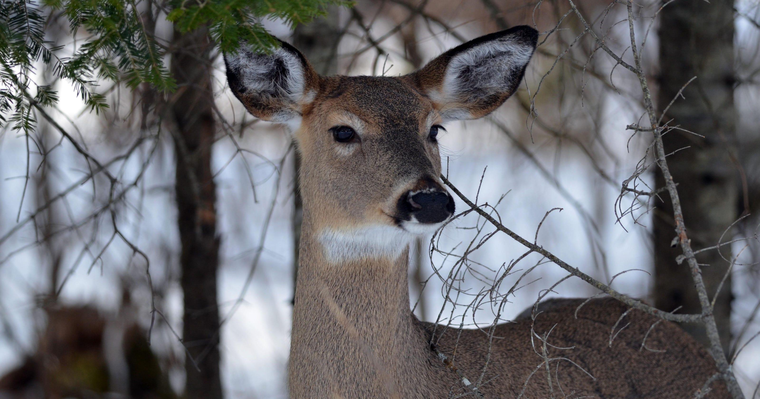 Winter is far from over for Upper Peninsula deer