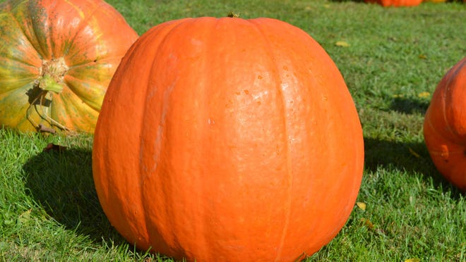 "One of the ""gi-normous"" pumpkins at the Haylett-Jones Memorial fundraiser."