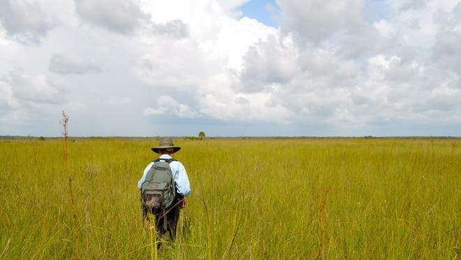 Wildlife biologist Deborah Jansen makes her way across Big Cypress National Preserve.