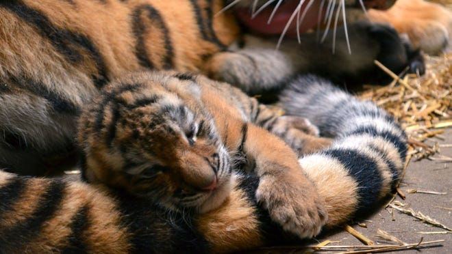 The Amur tiger cub was born July 10 at the Indianapolis Zoo.