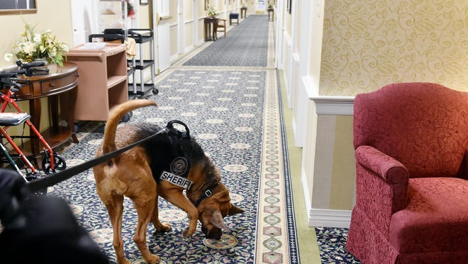 Lou the bloodhound sniffs out a scent during a training exercise Thursday, Jan. 12, 2016, at Country Meadows of York in West Manchester Township. Bloodhounds from Summit Search & Rescue as well as from the York County Sheriff's Office practiced tracking residents who volunteered to hide in various areas of the retirement community's campus.