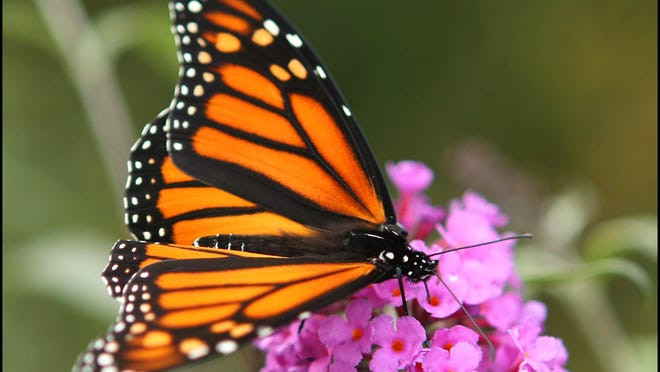 A monarch butterfly is shown in this photo.