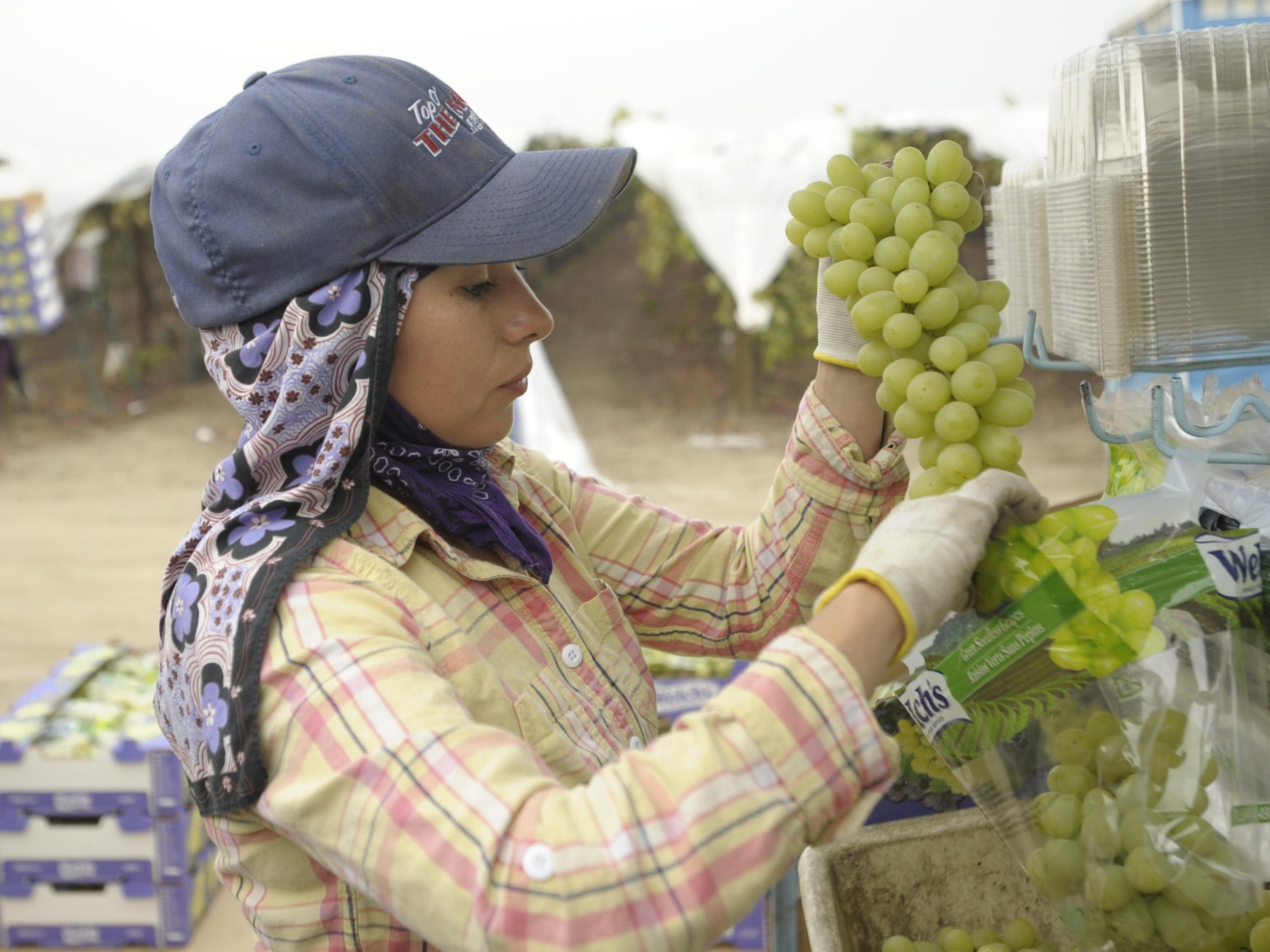 In this file photo, Janet Cuevas of Tulare bags freshly-picked grapes at Sundale Vineyards near Tulare.