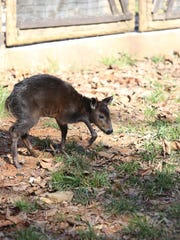 A young yellow-backed duiker ventures into her habitat with her mother, Pixie, at Zoo Knoxville on Wednesday, Feb. 1, 2017.