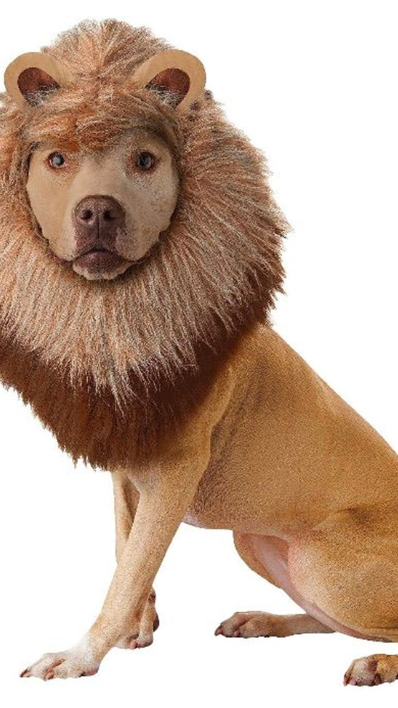 A lion costume for a dog on Halloween from Target.