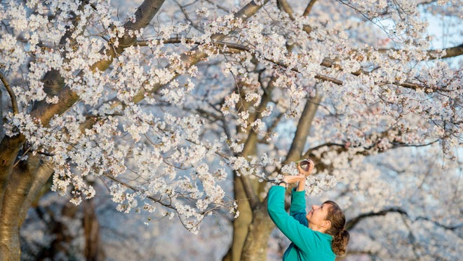 A visitor to the Tidal Basin takes a picture of cherry blossoms in bloom.