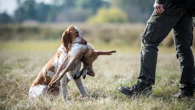 An Italian Vizsla holds a retrieved hare as it listens to commands by its owner in this file photo.