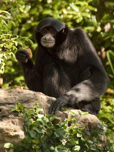 Bahari, a male Siamang, savors a monkey biscuit on