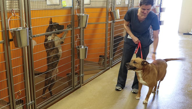 Dr. Kim Sanders handles Tanner, a 5-year old shepherd mix, Friday inside the Anderson County P.A.W.S. animal shelter in Anderson.