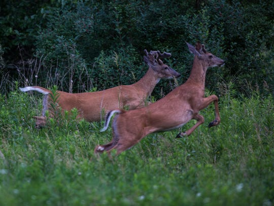 White-tailed deer run through a field last summer at