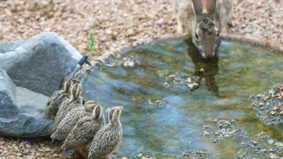 Baby quail and rabbit at bird bath