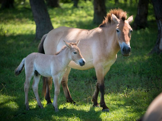Prezewalski's Wild Horse