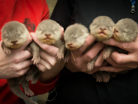 636562030539943552-Asia-Small-Clawed-Otter-Pups-2306---Grahm-S.-Jones-Columbus-Zoo-and-Aquarium.jpg