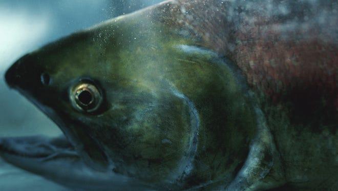 Salmon file photo.