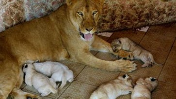 African lioness named Rani, or Queen, sits with her newly born five cubs at the house of her owner who has raised her as a pet on March 26, 2015, in Multan, Pakistan.