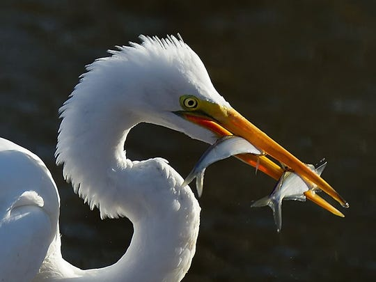 Egret with catch of the day