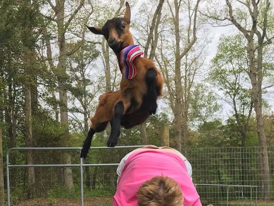 Goats mid-air is typical during goat yoga at a farm