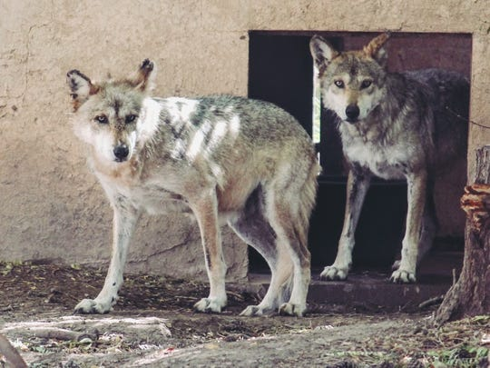 A pair of Mexican gray wolves come out of their enclosure at the Alameda Park Zoo, 1321 N. White Sands Blvd.