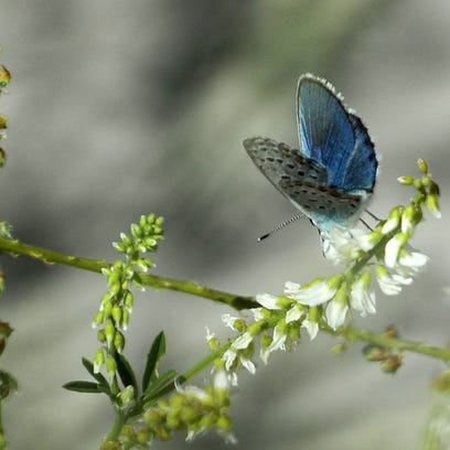 A Karner blue butterfly feeds on nectar from sweet-clover