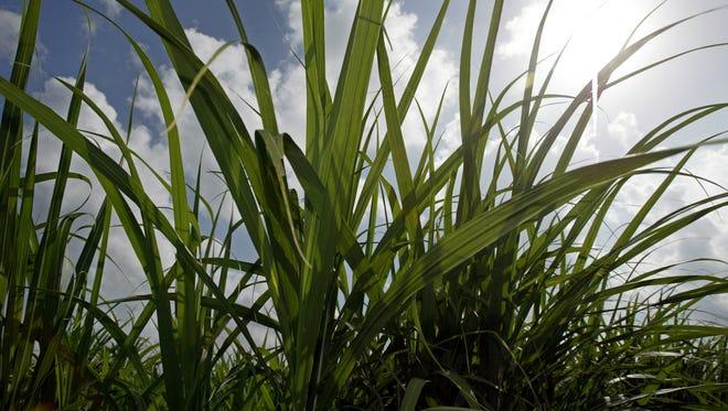 FILE -- Sugar Cane