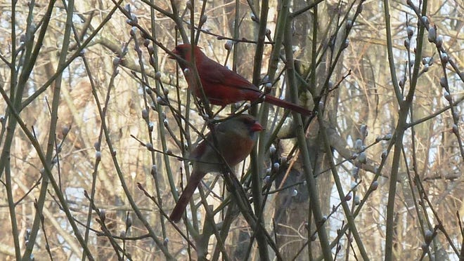 "Joan Quick of Hyde Park recently submitted this photo of a pair of cardinals that visits her property. ""Mr. and Mrs. Cardinal are frequent visitors to our bird feeder,"" she said via email, ""and they obligingly posed for a picture in our pussy willow bush."""
