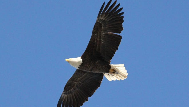 Alice the bald eagle of Ridgefield Park disappeared this winter.