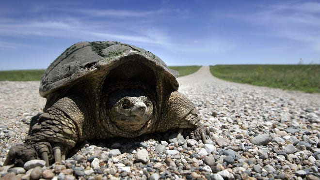 A snapping turtle crosses a road through the Neal Smith National Wildlife Refuge on a spring day.